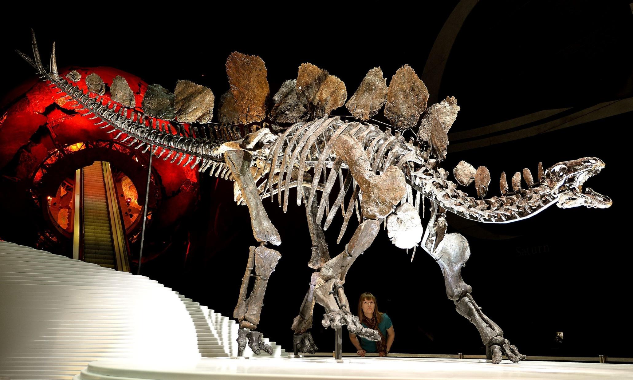 Sophie The Stegosaurus Debuts At London S Natural History
