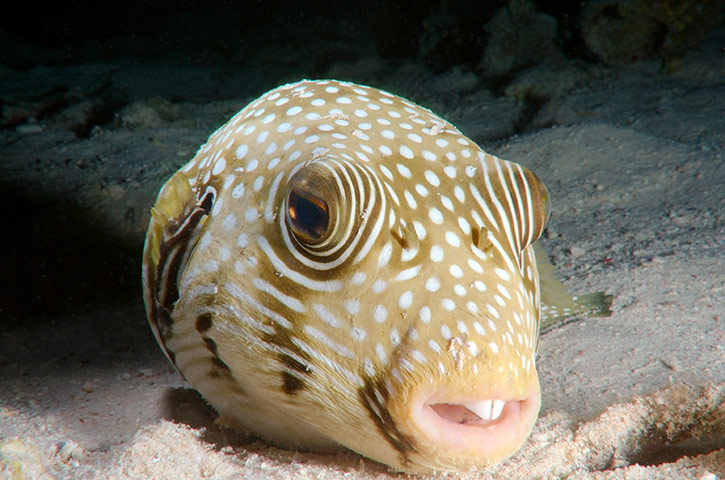 Giant freshwater puffer