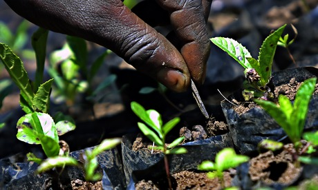 A Kenyan farmer tends newly planted trees