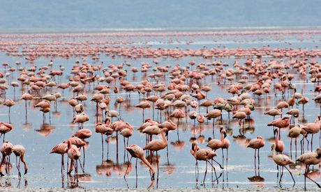 Flamingos at Lake Nakuru in Kenya's Rift Valley.