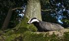 Badger gassing
