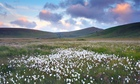 Bog cotton, Dartmoor