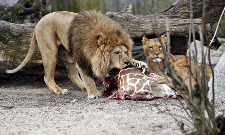 Lions eat Marius