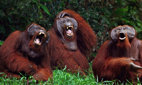 http://static.guim.co.uk/sys-images/Guardian/Pix/pictures/2014/3/10/1394443662119/Orangutans-Laughing-011.jpg