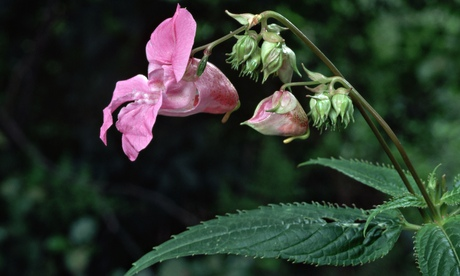 The invasive Himalayan Balsam flower