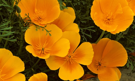 A cluster of growing California poppies with their simple velvety petals