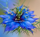 A single blue Nigella damascena 'Miss Jekyll' Flower - love in a mist