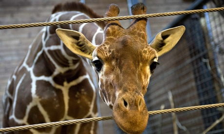 Marius the giraffe, in Copenhagen zoo
