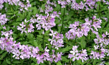Cardamine quinquefolia Caucasus