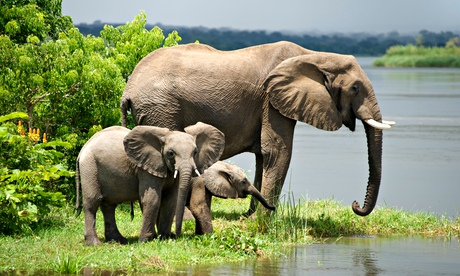 African elephants in Murchison Falls
