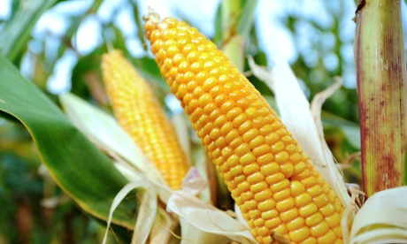 Corn in a field in Godewaersvelde, France. Extreme heat could hit key crops in the future, a new study says