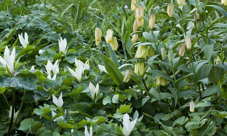 Leeds garden Fritillaria pallidiflora and Trillium chloropetalum