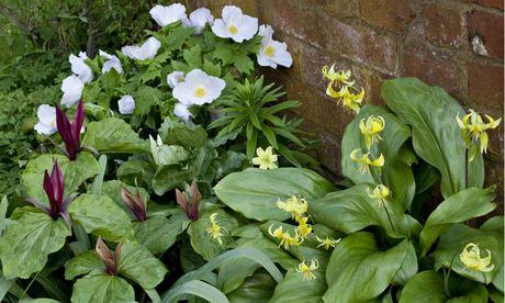 Leeds garden Glaucidium palmatum, trilliums and Erythronium 'Pagoda'