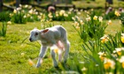 A lamb frolicking in the spring sunshine