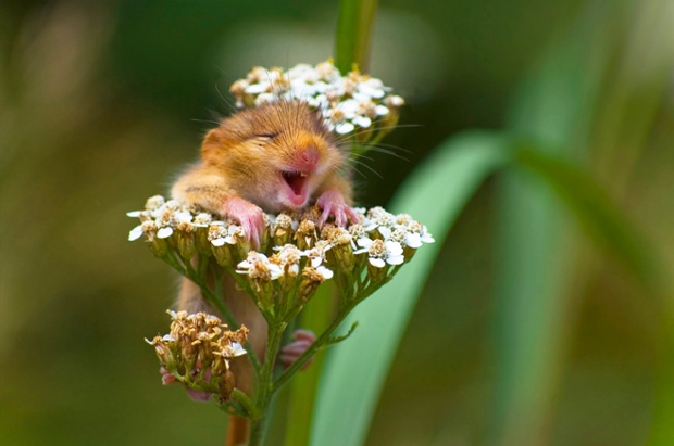A doormouse found laughing on top of a yarrow flower.