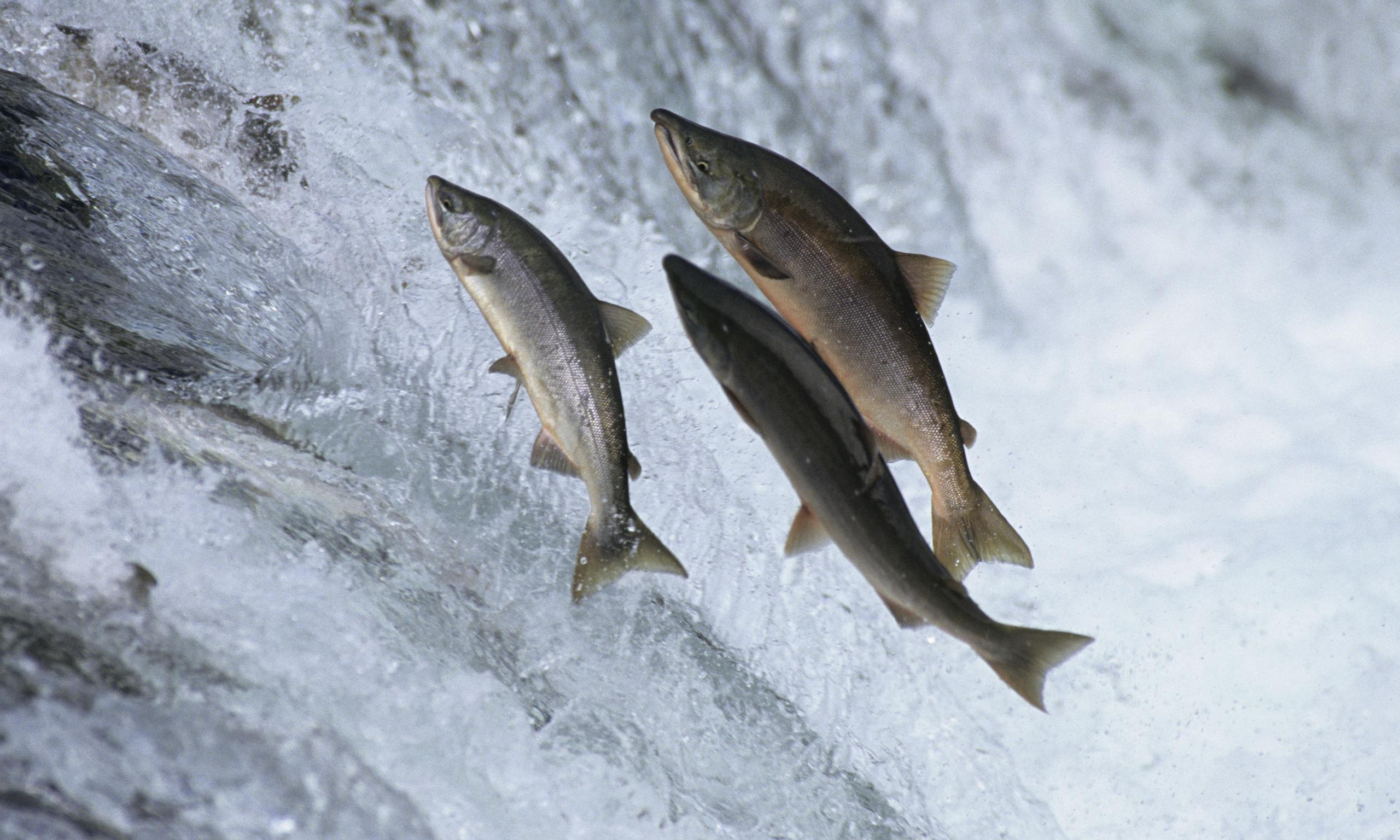 How california 39 s juvenile salmon are migrating to the sea for Salmon fishing in california