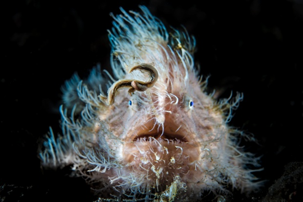 Ol' blue eyes: A hairy frogfish attempts to attract prey with its worm shaped lure in the shallow waters of Lembeh Strait, Indonesia.   This large individual was probably a female.
