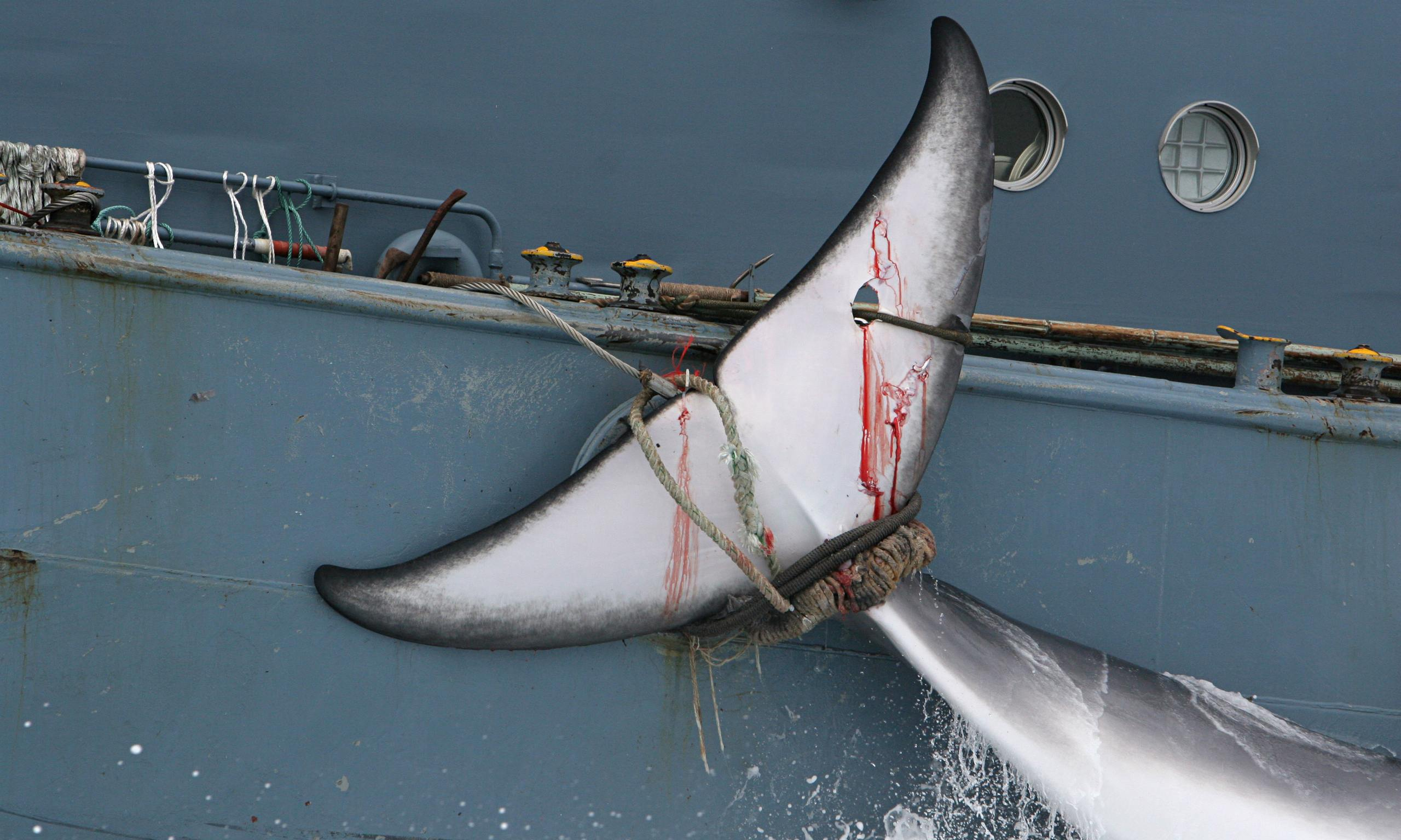 japanese whaling Japanese whaling was a largely unrecognized issue until a few years ago, when  increased protests by environmental groups forced acknowledgement from the.
