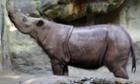 Suci, Sumatran rhino.