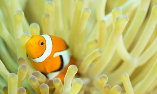 Anemone fish, Bilang bilangan reef, Danajon Banks, Philippines