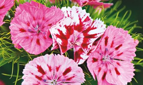 Dianthus barbatus or sweet william