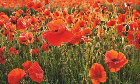 Gardens: poppies