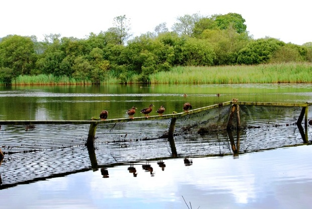 ducks balancing on a fence