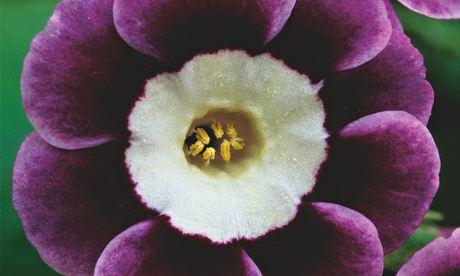 auricula Primula Adrian