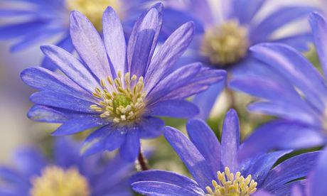 Grecian windflowers (Anemone blanda)