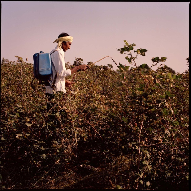 A worker spraying the cotton plants with a pesticide
