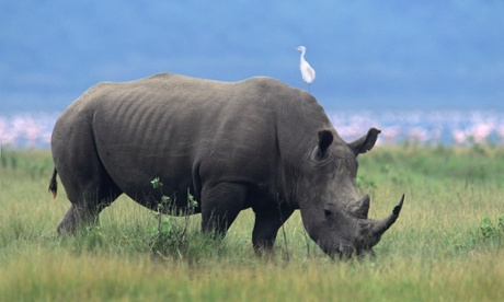 White rhinoceros grazing. More than 1000 were killed by poachers in South Africa in 2013