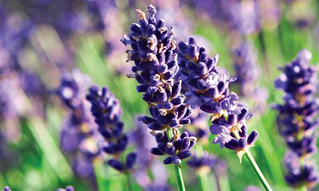 Plant of the week: Lavender 'Munstead'