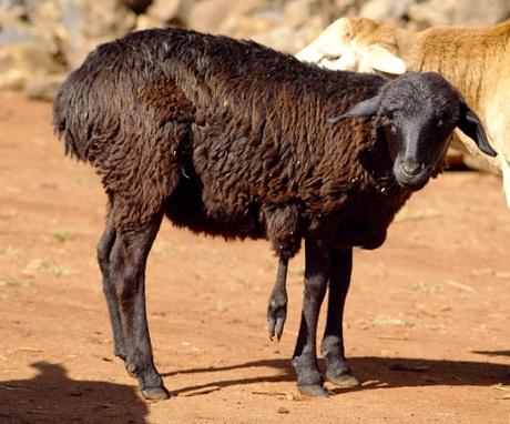 A Kenyan sheep with five legs.