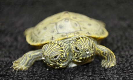 A two-headed Texas cooter turtle at San Antonio zoo.