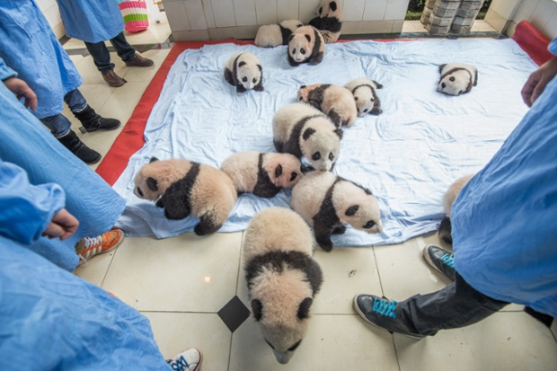 Inside the giant panda research centre.