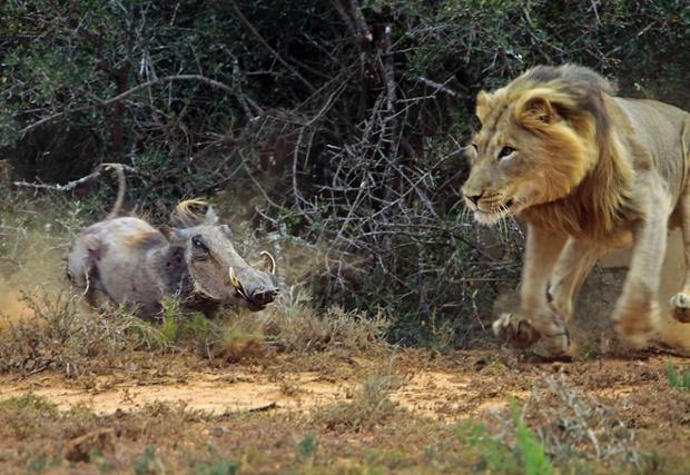 在非洲野生动物保护区的狮子猎食误闯进来的疣猪(图)