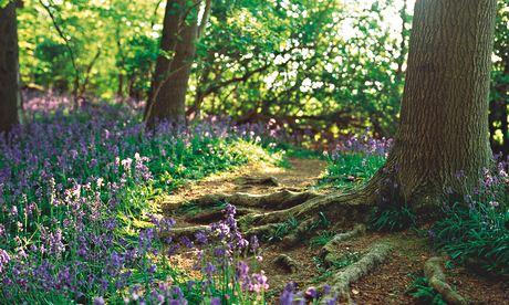 Gardens: bluebells