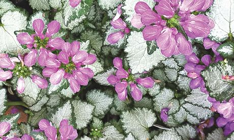 Plant of the week: Lamium 'Mega Purple'