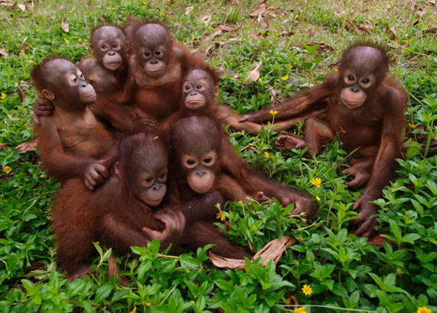 Re-homed orangutan orphans sit in a group at their rescue centre in Borneo. The young adoptees had bonded and treat each other like siblings.