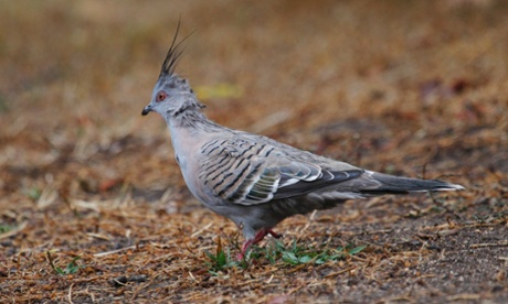 A Crested Pigeon.
