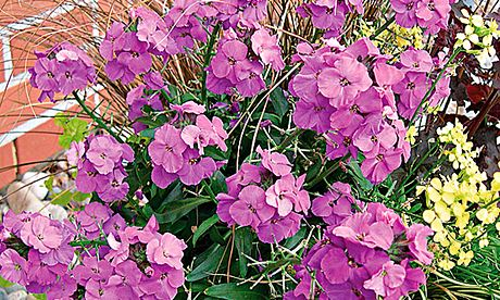 Plant of the week: Wallflower 'Winter Joy'