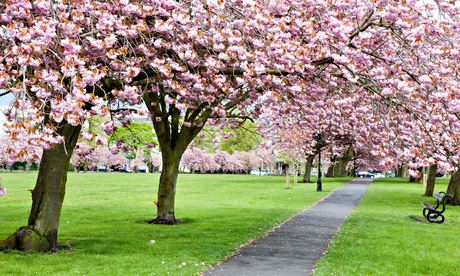 Trees with cherry blossom along a path through grass