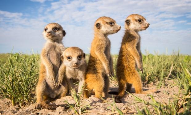 2014/apr/08/baby Meerkats