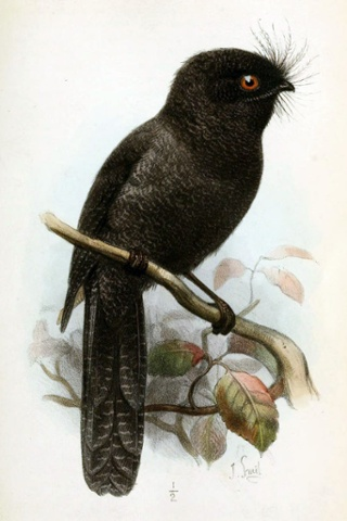 New Caledonian Owlet-nightjar by Joseph Smit for The Ibis Journal, 1881