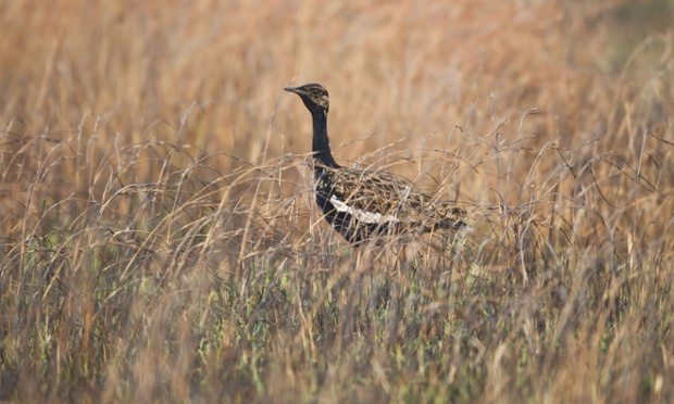 Bengal Florican (Houbaropsis bengalensis) adult, standing in long grass, Tonle Sap Grasslands, Cambodia, March