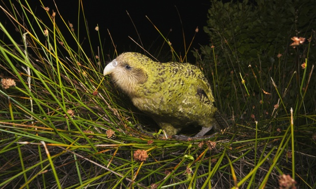 Kakapo (Strigops habroptilus) feeding on tussock grass, 29 Mar 2011, Codfish Island, South Island, New Zealand