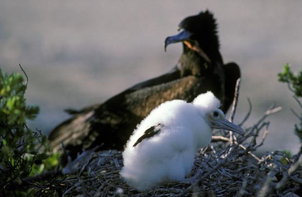 Great Frigatebird with nesting baby chick, Christmas Island, Kiribati