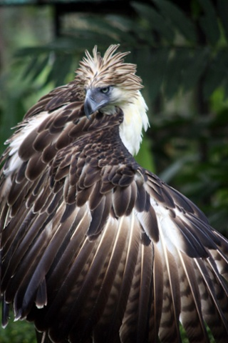 Apr. 09, 2011 - Davao, Philippines - Scout Binay, a seven-year old endangered Philippine Eagle named after Philippine Vice President Jejomar Binay, is seen in the forest preservation of the Philippine Eagle Foundation. The foundation breeding program seeks to increase the number of Philippine Eagles