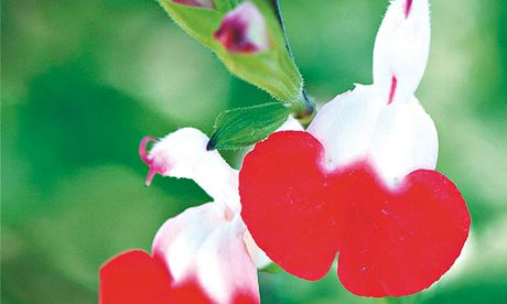 Plant of week: Salvia 'Hot Lips'