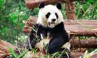 Giant panda in Chengdu Panda Base, Sichuan Province, China.